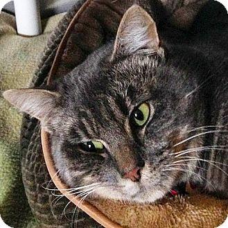 Domestic Shorthair Cat for adoption in Port Angeles, Washington - Radar
