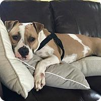 Adopt A Pet :: Xena - Minnetonka, MN