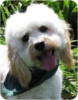 Cockapoo Dog for adoption in Encinitas, California - Frankie