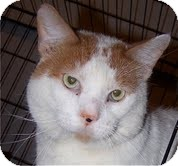 Domestic Shorthair Cat for adoption in Chicago, Illinois - Charleston