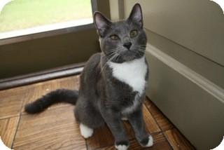 Domestic Shorthair Cat for adoption in Los Angeles, California - Oscar- friendly, puppyish teen
