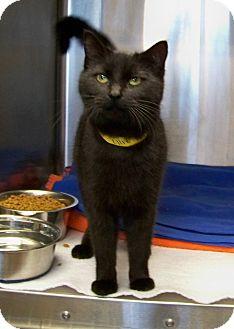 Domestic Shorthair Cat for adoption in Dover, Ohio - Ellie
