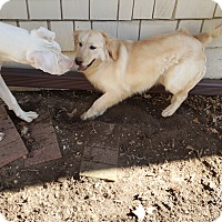 Adopt A Pet :: Goldie - ADOPTION PENDING!! - Antioch, IL