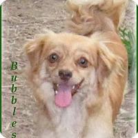 Adopt A Pet :: Bubbles- Good lap dog! - Marlborough, MA