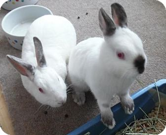 Himalayan for adoption in Newport, Kentucky - Sugar Pie and Ricky