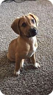 Hound (Unknown Type)/Boxer Mix Puppy for adoption in Elon, North Carolina - Rebel-adoption pending