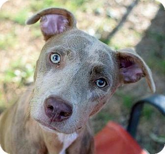 American Staffordshire Terrier/Catahoula Leopard Dog Mix Dog for adoption in Jasper, Georgia - Raelynn