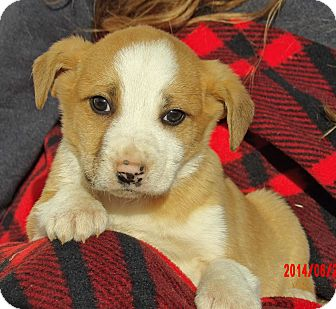 Australian Shepherd/Retriever (Unknown Type) Mix Puppy for adoption in West Sand Lake, New York - Legend (5 lb) Video!