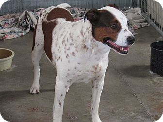 Australian Cattle Dog/American Bulldog Mix Dog for adoption in Santa Clara, New Mexico - Finnegan