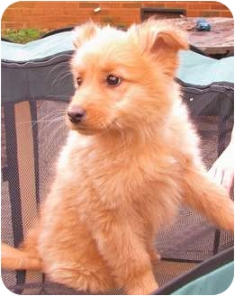 Golden Retriever/Shepherd (Unknown Type) Mix Puppy for adoption in maryville, Tennessee - One fluffy furball...Sugar Bea