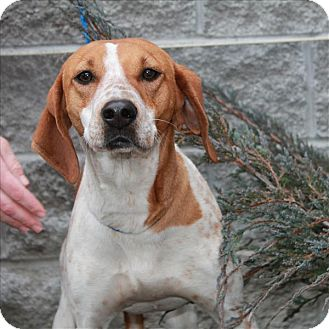 English (Redtick) Coonhound/Coonhound Mix Dog for adoption in Chicago, Illinois - Dixie(ADOPTED!)