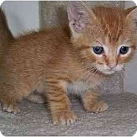 Adopt A Pet :: Male Kitten - Chicago, IL