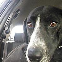 Adopt A Pet :: Sasha - New Philadelphia, OH