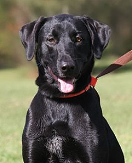 Great Dane/Labrador Retriever Mix Dog for adoption in North Fort Myers, Florida - Bean