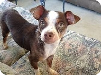 Terrier (Unknown Type, Small)/Chihuahua Mix Puppy for adoption in Winchester, California - Beatrice