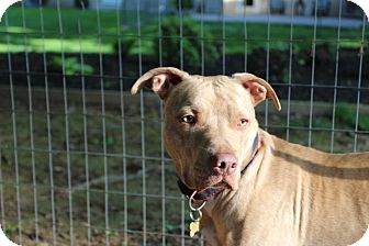 American Pit Bull Terrier Mix Dog for adoption in Baltimore, Maryland - Tigger