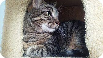 Domestic Shorthair Cat for adoption in Manhattan, Kansas - Leisel