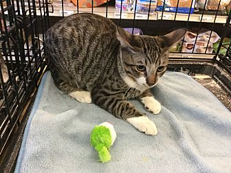 Domestic Shorthair Cat for adoption in Gilbert, Arizona - Miles