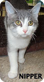 Domestic Shorthair Cat for adoption in Lapeer, Michigan - Nipper
