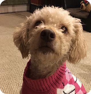 Poodle (Miniature) Mix Dog for adoption in Tumwater, Washington - Eleanor