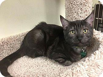 Egyptian Mau Cat for adoption in Hesperia, California - Chickpea