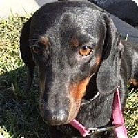 Adopt A Pet :: Claudia Consomme - Houston, TX
