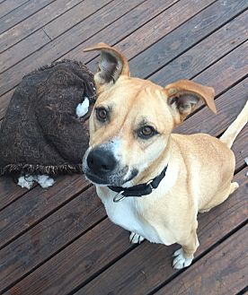 Black Mouth Cur Mix Dog for adoption in Dallas, Texas - Izzy