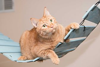 Domestic Shorthair Cat for adoption in Chicago, Illinois - Garfield