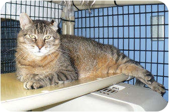 Domestic Shorthair Cat for adoption in Colmar, Pennsylvania - Sammee