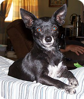 Chihuahua Dog for adoption in San Angelo, Texas - Sweety