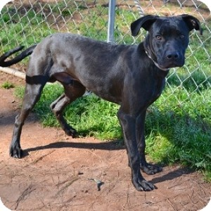 Labrador Retriever/Hound (Unknown Type) Mix Dog for adoption in Athens, Georgia - Indy