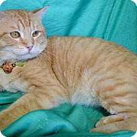 Domestic Shorthair Cat for adoption in Germantown, Tennessee - Ragnar