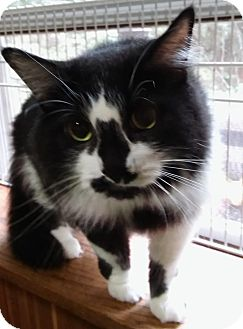 Domestic Longhair Cat for adoption in Witter, Arkansas - Raoul