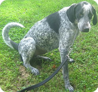 Blue Heeler/Hound (Unknown Type) Mix Dog for adoption in Hillsboro, Ohio - Miley