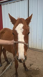 Quarterhorse Mix for adoption in Hitchcock, Texas - Lorraine