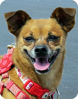 Chihuahua Mix Dog for adoption in Las Vegas, Nevada - Grizzley