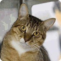 Domestic Shorthair Cat for adoption in Austin, Texas - Tiger