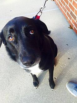 Labrador Retriever Mix Dog for adoption in ST LOUIS, Missouri - Buehrle