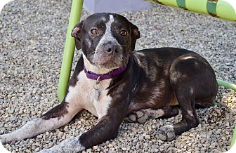 Australian Cattle Dog/Pit Bull Terrier Mix Puppy for adoption in Los Angeles, California - Cleo