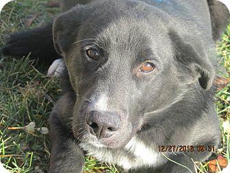 Border Collie/Labrador Retriever Mix Dog for adoption in Mount Sterling, Kentucky - Spencer