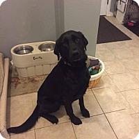 Adopt A Pet :: Eddie - ST LOUIS, MO