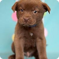 Adopt A Pet :: Superman - Waldorf, MD