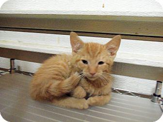 Domestic Shorthair Kitten for adoption in Catasauqua, Pennsylvania - Baxter