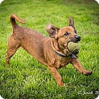 Adopt A Pet :: Radar - San Jose, CA