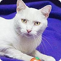 Adopt A Pet :: Cotton - Chicago, IL