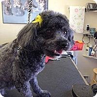 Adopt A Pet :: Tanya - Plainview, NY