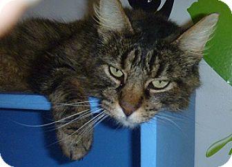 Domestic Longhair Cat for adoption in Hamburg, New York - Puff Puff