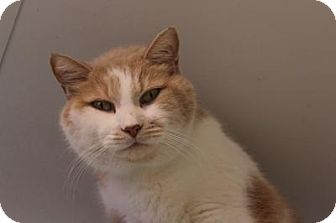Domestic Shorthair Cat for adoption in Indianapolis, Indiana - John