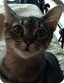 Domestic Shorthair Cat for adoption in Pelham, Alabama - Joy
