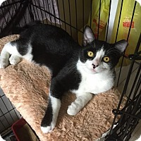 Domestic Mediumhair Kitten for adoption in Spring Lake, New Jersey - Jaspurr